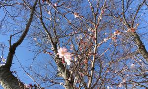 桜の開花♪京都・滋賀の業務用エアコンならデヴァシオン!